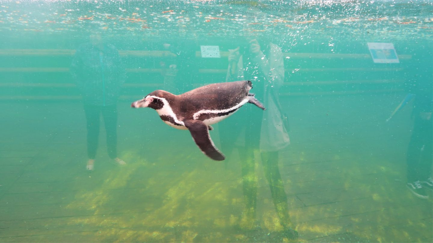 Penguin under water chester zoo
