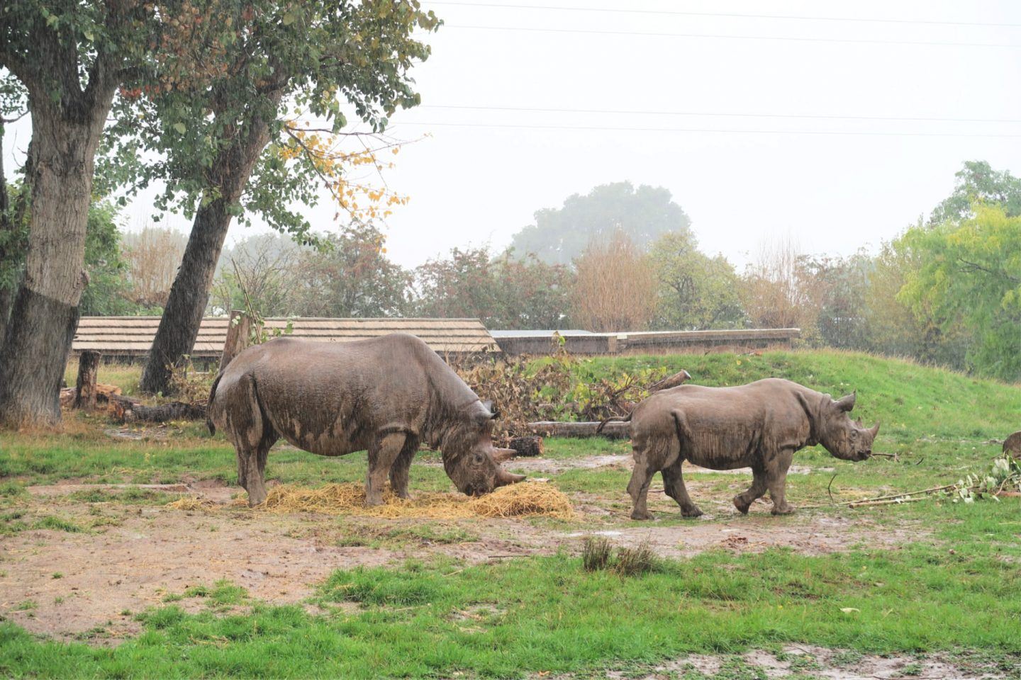 Rhinos in rain Chester Zoo