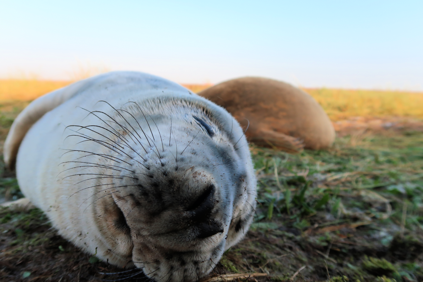donna nook seal up close